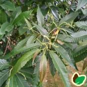 Ægte Kastanje | Stort udvalg i buske & træer til haven