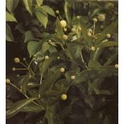 Cephalanthus / Knapbusk