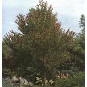 Cercidiphyllum / Hjertetræ