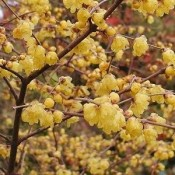 Chimonanthus / Vinterblomst