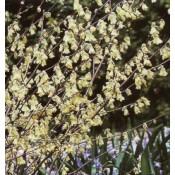 Hasselbror - Stort udvalg af haveplanter