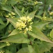 Diervilla  - Stort udvalg af haveplanter