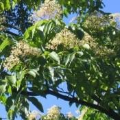 Euodia / Tetradium / Honningtræ