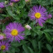 Bakkestjerne | Stort udvalg i stauder & buske til haven