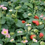 Prydjordbær - Stort udvalg - Kridtvejs Planter