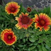 Kokardeblomst - Stort udvalg - Kridtvejs Planter
