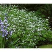 Skovmærke planter - Stort udvalg - Kridtvejs Planter