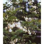 Halesia / Sneklokketræ