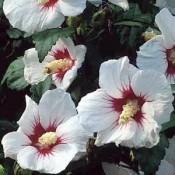 Hibiscus / Syrisk Rose