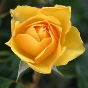 Roser til haven & krukker | Stort udvalg i roser