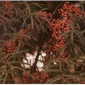 Havtorn | Stort udvalg i Havtorn, buske & træer til haven