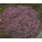 Brudeslør - Stort udvalg - Kridtvejs Planter