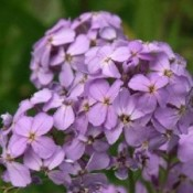 Hesperis / Natviol