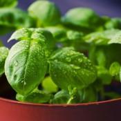 Krydderurter | Stort udvalg i krydderurter i potter