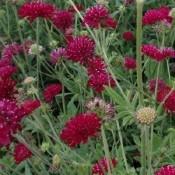 Blåhat | Stort udvalg i stauder & buske til haven