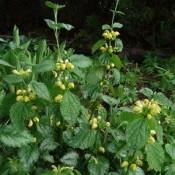 Guldnælde - Stort udvalg - Kridtvejs Planter
