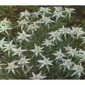 Edelweiss - Stort udvalg af Stauder - Kridtvejs Planter