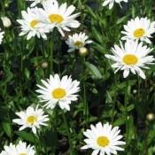 Leucanthemum / Kæmpemargerit