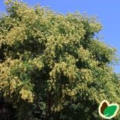 Koelreuteria / Kinesertræ