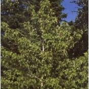 Liquidambar / Ambratræ