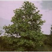 Liriodendron / Tulipantræ