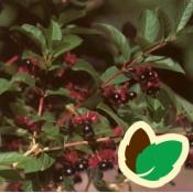 Gedeblad 'Lonicera' Stort udvalg af buske til haven - Bestil her!