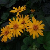 Nøkketunge - Stort udvalg af Stauder - Kridtvejs Planter