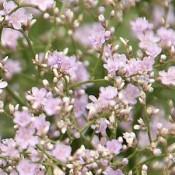 Hindebæger - Stort udvalg af Stauder - Kridtvejs Planter