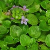 Fruemynte - Stort udvalg af Stauder - Kridtvejs Planter