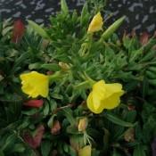 Oenothera / Natlys