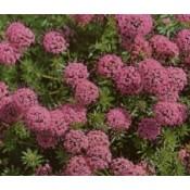 Rosenskovmærke - Stort udvalg af Stauder - Kridtvejs Planter