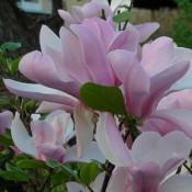 Magnolia / Magnolie