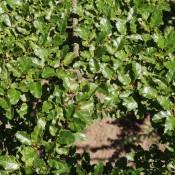 Sydbøg | Stort udvalg i træer & buske til haven