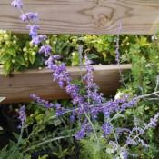 Perovskia / Falsk Lavendel