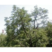 Phellodendron / Amur - Korktræ