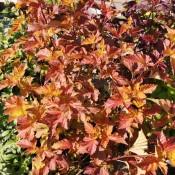 Physocarpus / Blærespiræa