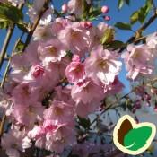 Prunus / PrydKirsebær / Japansk kirsebær / Blodblomme