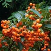 Ildtorn - Stort udvalg af haveplanter