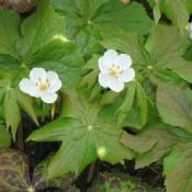 Podophyllum / Fodblad