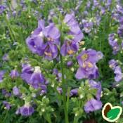 Jakobsstige - Stort udvalg af Stauder - Kridtvejs Planter