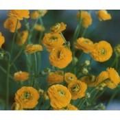 Ranunkel - Stort udvalg af Stauder - Kridtvejs Planter