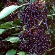 Hyld | Stort udvalg i buske & træer til haven