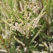 Tamarisk - Stort udvalg af haveplanter