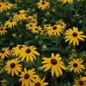 Solhat - Stort udvalg af Stauder - Kridtvejs Planter