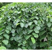 Elm - Stort udvalg af haveplanter