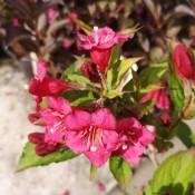 Klokkebusk - Stort udvalg af haveplanter