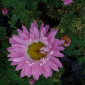 Rosenkrave | Stort udvalg i stauder & buske til haven