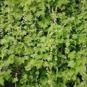 Biskophat - Stort udvalg af Stauder - Kridtvejs Planter