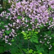 Frøstjerne - Stort udvalg af Stauder - Kridtvejs Planter