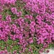 Pryd Timian - Stort udvalg af Stauder - Kridtvejs Planter